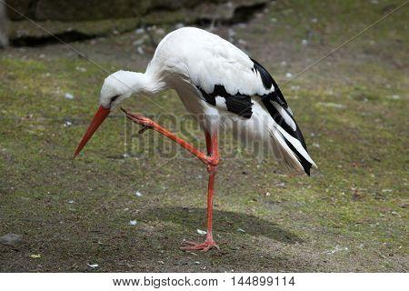 White stork (Ciconia ciconia). Wildlife bird.