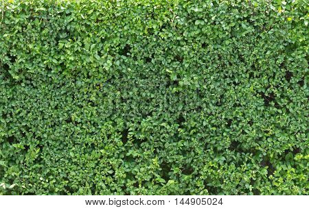 Green leave on the wall texture background