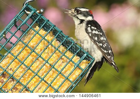 Male Downy Woodpecker (Picoides pubescens) on a suet feeder with a colorful background