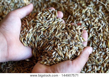 Child's Hands Holding Mixed Seeds Of Barley And Oats. Freshly Harvested.