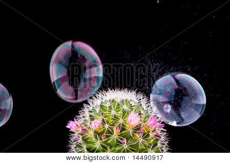 soap bubble bursting and cactus on black background poster