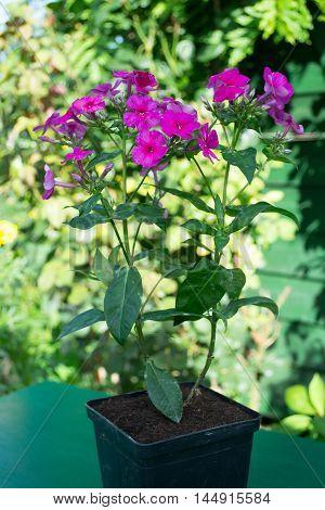 Phlox puple flower in a pot in the garden.