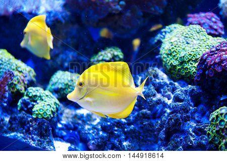 Beautiful zebrasoma salt blue water aquarium fish.