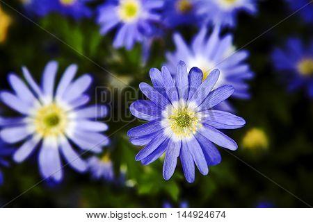 Anemones close up in the flower garden