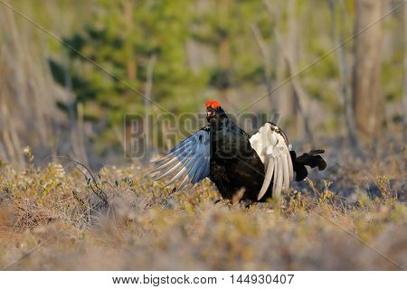 Jumping male Black Grouse (Tetrao tetrix) at swamp courting place early in the morning. National park Plesheevo Lake Yaroslavl region Russia