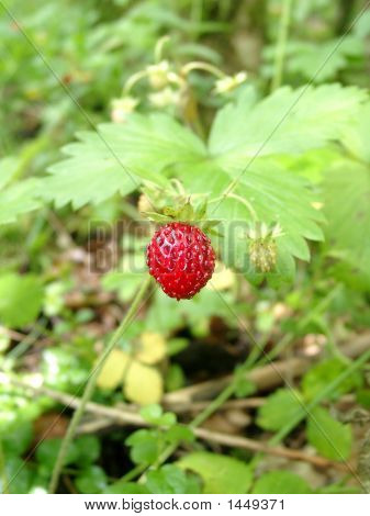 Wood Wild Strawberry