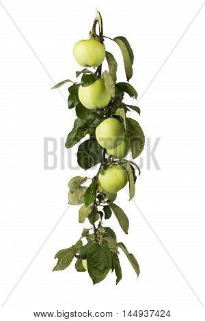 Green apples on a branch with waterdrops isolated on a white background.