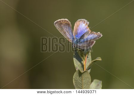 Common Blue (Polyommatus icarus) butterfly male resting on top of a Shrub with open Wings