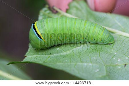 Green Tiger Swallowtail Caterpillar on Papua Leaf