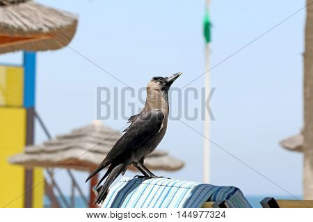 Raven steals things on the beach. United Arab Emirates
