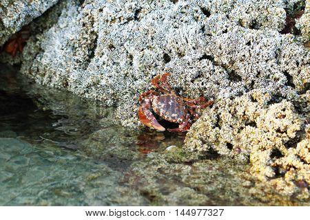 Red crab hunts in corals. United Arab Emirates