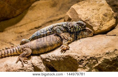 a blue Spiny Lizard and one Gila Monster lying together on the stone