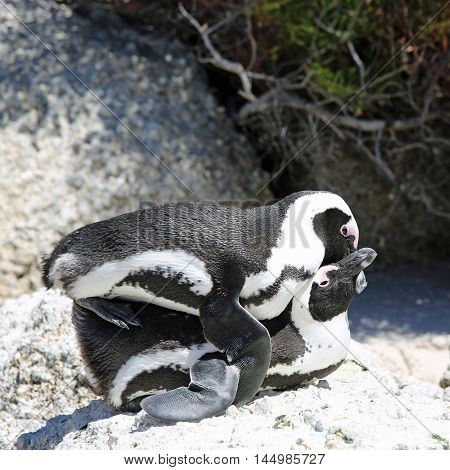 Mating Jackass Penguins (Spheniscus demersus) at Boulders Beach. Simon's Town. South Africa