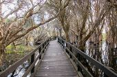 Wooden boardwalk in diminishing perspective through the paperbark trees in the Herdsman Lake wetland reserve in Western Australia. poster