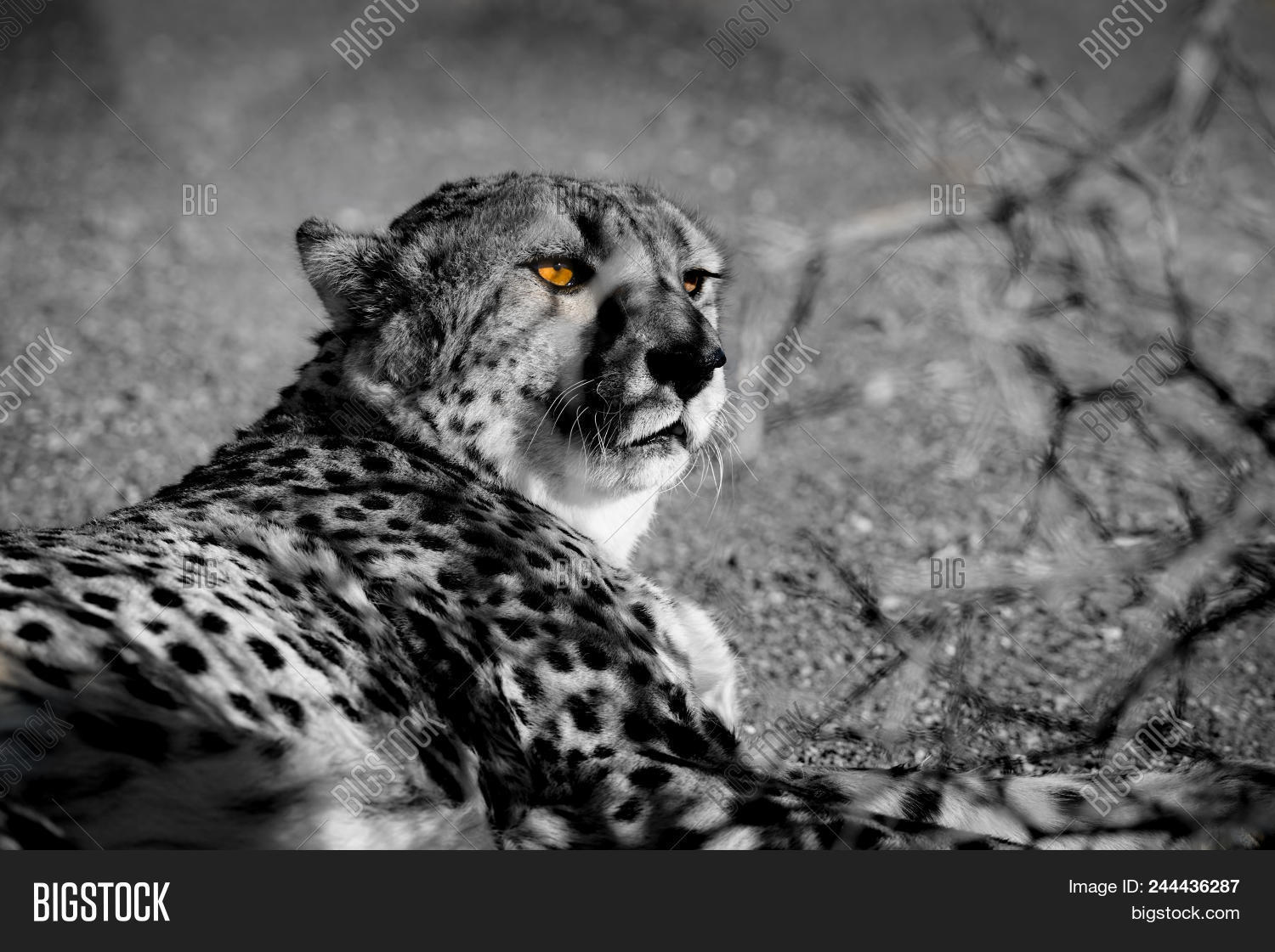 Relaxing cheetah in black and white with color splash bright golden eyes