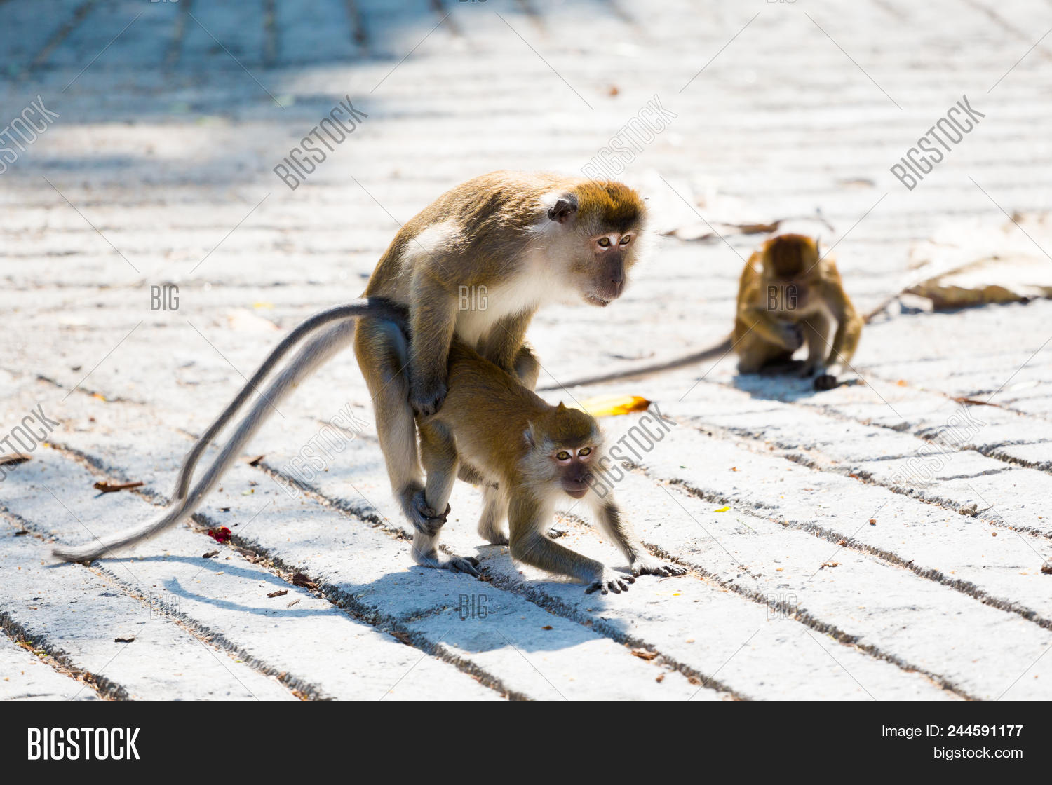 Monkey having of sex Picture