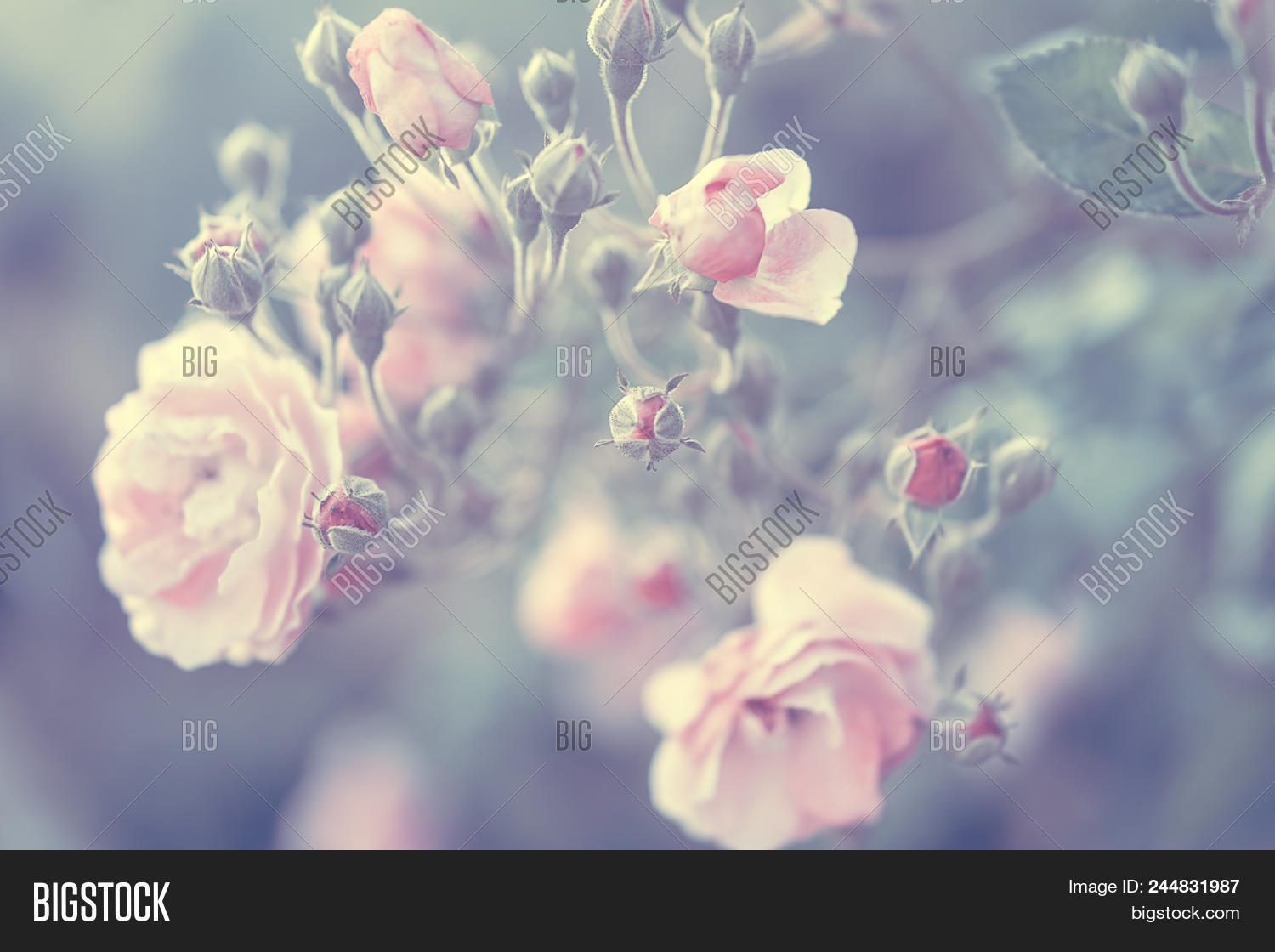 Pastel Rose Background Image Photo Free Trial Bigstock
