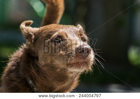 Brown Mongrel. Brown Watchdog With A Brown Nose