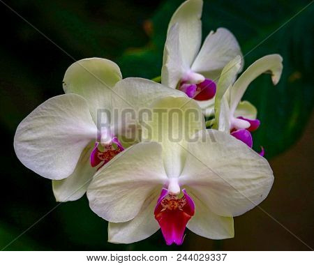 Closeup Of Three Beautiful White Orchids With Fuchsia Center