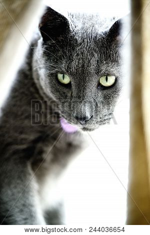 I Thought I Saw A Putty Cat: A Russian Blue Cat Looking Back Through The Curtains