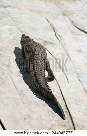 crocodile in the nature
