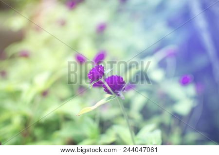Soft Focus Of Purple Of Globe Amaranth Or Bachelor Button Flower Blooming In The Garden