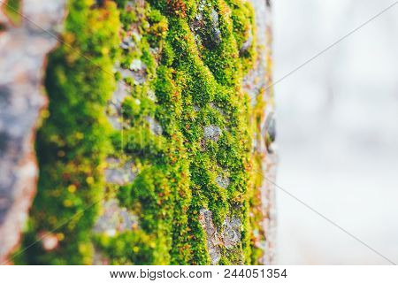 Beautiful Green Moss In The Sunlight, Closeup, Macro. Moss Grows On The Tree.