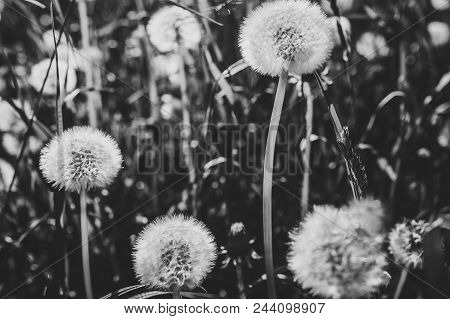 Dandelion Field CloseUp Macro Of Fluffy Part A Meadow Dandelions In The Background Beautiful White Flowers Grass