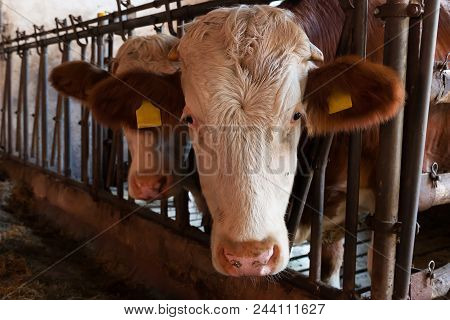Cattle In The Barn, White Head, Red Brown Ears