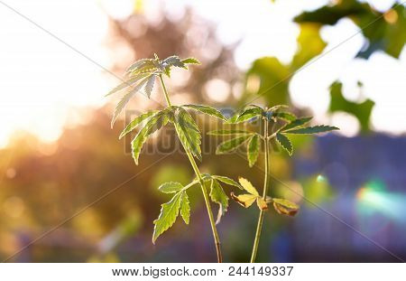 Plant Of Marijuana In Sunlight Against Sky On Sunset Sun. Thickets Plant Of Cannabis On Background B
