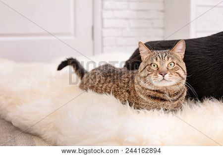 Adorable striped cat lying on fuzzy rug indoors poster