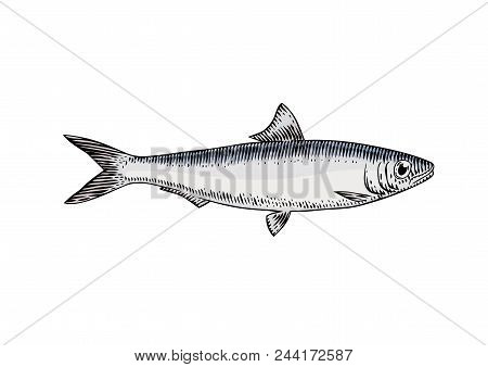 Drawing Of Isolated Live Sardine Fish On The White