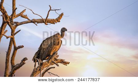 White-backed vulture perched on a dead tree. Kruger National Park, South Africa.