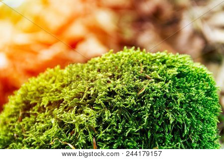 A Thick Green Moss Settled On The Trunk Of A Tree. Green Moss Sunlit, Colorful Natural Background