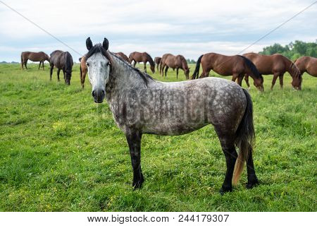 Herd Of Horses Grazing In A Meadow, Beautiful Rural Landscape With Cloudy Sky. Stories About Rural L