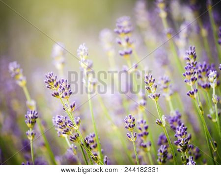Beautiful Detail Of Scented Lavender Flowers Field Perfect Radiant Orchid Color In Provence France