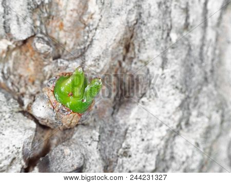 Closeup Green Bud On Dried Tree, Picture Concept