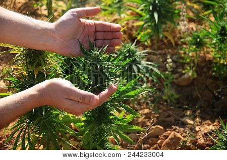 A Man Showing A Cannabis Plant (cannabis Sativa) Growing In A Field In Lebanon. Lebanon Is One Of Th