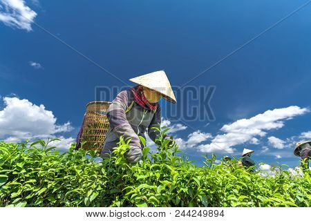 Da Lat, Vietnam - May 11, 2018: Group Farmers In Labor Costume, Conical Hats Harvesting Tea In The M