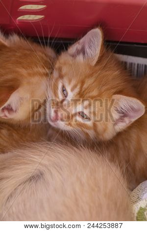 Two Cute Little Ginger Kittens Is Sleeping In Soft Blanket