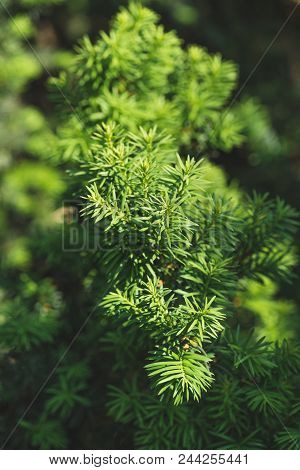 Conifer Branches And Leaves In Sunlight Background