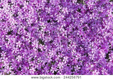 Phlox Subulata (known As Creeping Phlox, Moss Phlox, Moss Pink, Or Mountain Phlox) Flowers Backgroun