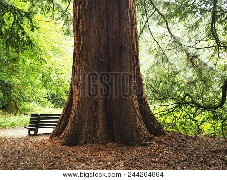 Impressive Giant Redwood Tree Trunk And A Wooden Bench In A Wood With Sunlight Shining Through The T