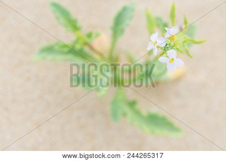 Pretty Small Delicate White Flower With Green Leaves Growing In The Sand On The Beach By The Ocean.