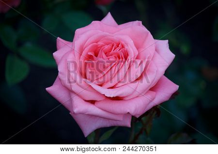 Closeup Of A Beautiful Pink Rose In Full Bloom