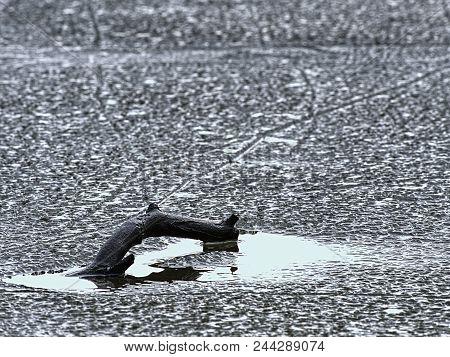 Broken Pine Branch On Frozen Lake. Hidden Pond In Snowy Forest, Close Up.  Frozen Bubbles Nad Cracks