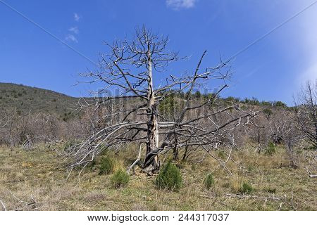 The Dried Relic Juniper (juniperus Excelsa) In The Crimean Mountains. Spring, Early April.