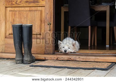 Senior West Highland White Terrier Westie Dog Lying On Mat Looking Out Of Open Farmhouse Door - Phot