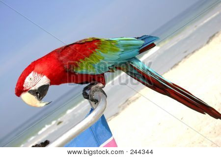 red macaw on the beach poster