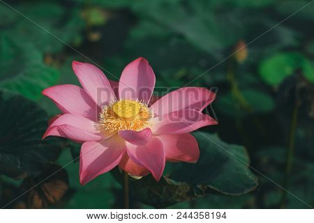 Macro Of Lotus Flower. Close Up Photo Of A Beautiful Lotus Flower With Copy Space For Text Or Advert